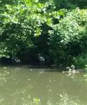 Click image for larger version.  Name:Heron Tow Path.jpg Views:30 Size:45.8 KB ID:18131