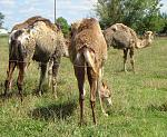 Click image for larger version.  Name:Camels_small.jpg Views:131 Size:130.7 KB ID:18104