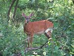 Click image for larger version.  Name:deer.jpg Views:124 Size:81.8 KB ID:18106